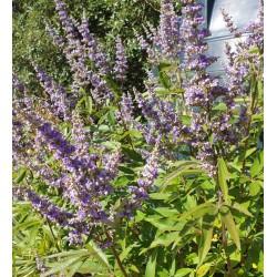 Vitex agnus-castus - flowers in September