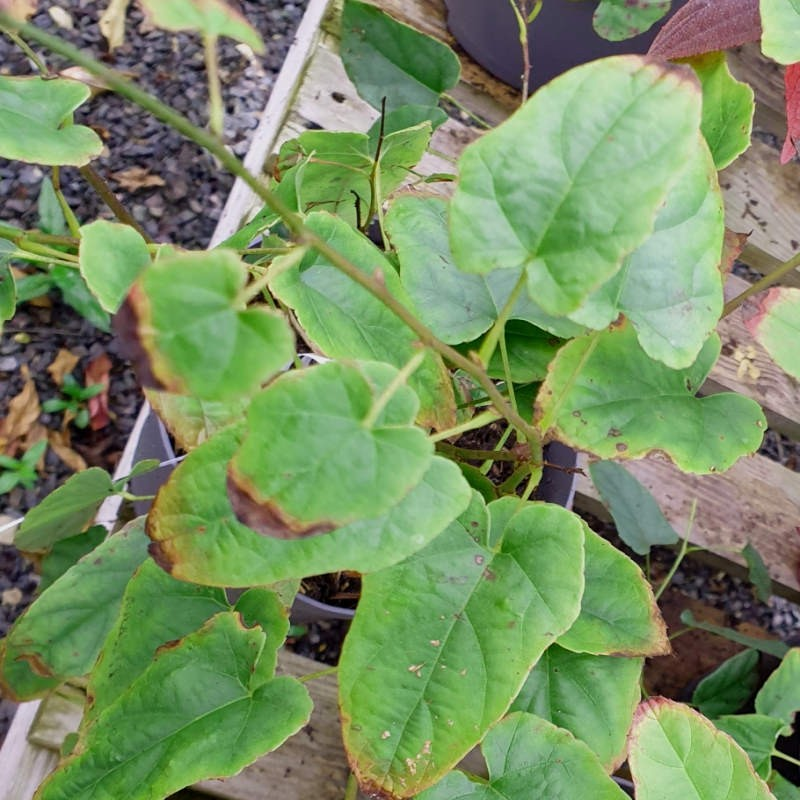 Rubus ichangensis - leaves in November