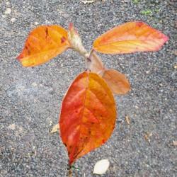 Malus tschonoskii 'Belmonte' - autumn colour