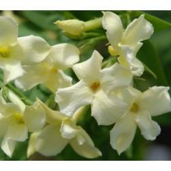 Jasminum officinale 'Clotted Cream' - summer flowers