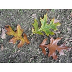 Quercus velutina 'Oakridge Walker' - deeply cut leaves