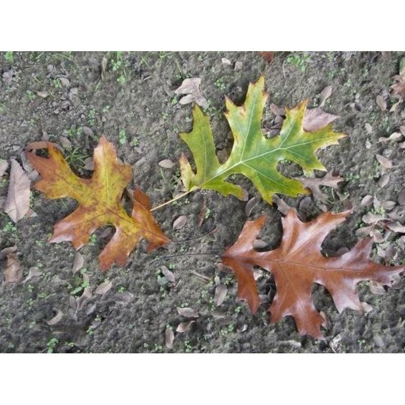 Quercus velutina 'Oakridge Walker' - deeply cut leaves