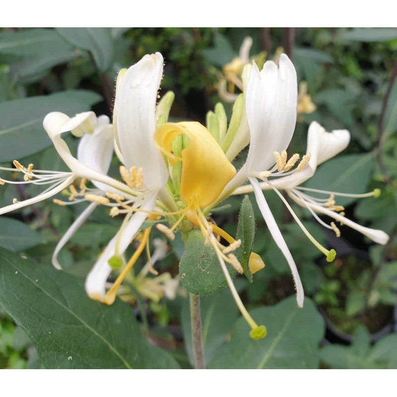 Lonicera periclymenum 'Assynt Cream' - summer flowers
