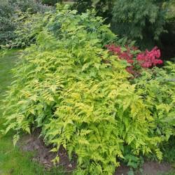 Rubus cockburnianus 'Golden Vale' - established plants in early autumn