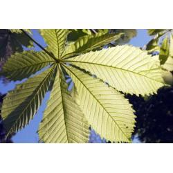 Aesculus hippocastanum 'Wisselink' - variegated summer leaves