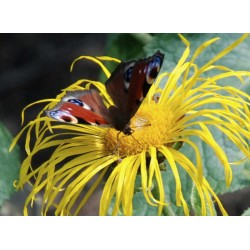 Inula magnifica - summer flower with butterfly