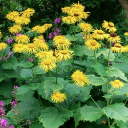 Inula magnifica - masses of golden-yellow flowers in summer