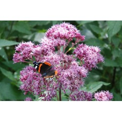 Eupatorium purpureum - late summer flowers with butterfly