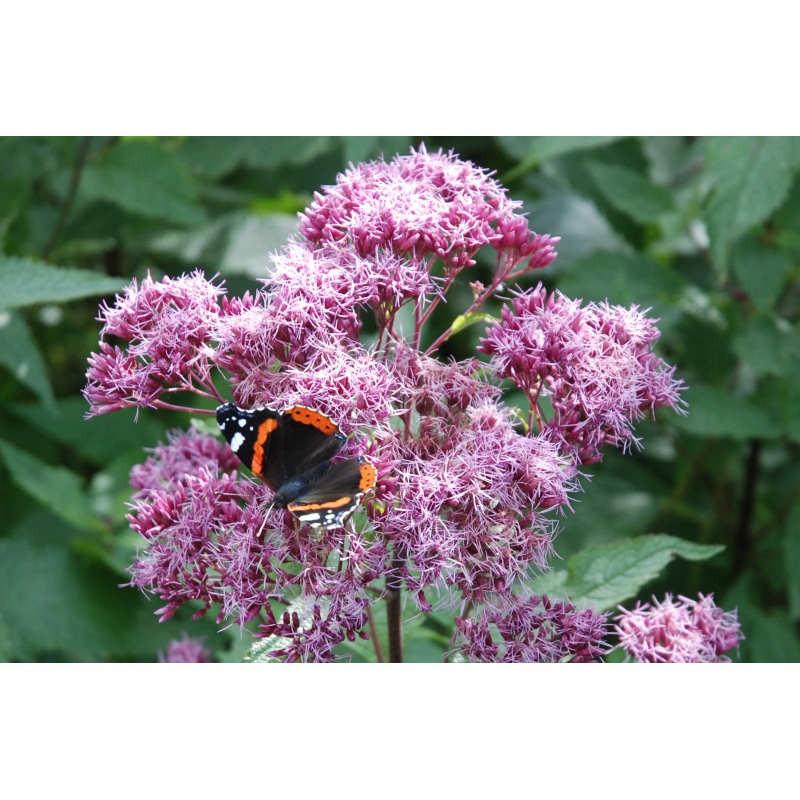 Eupatorium purpureum - late summer flowers with butterfly