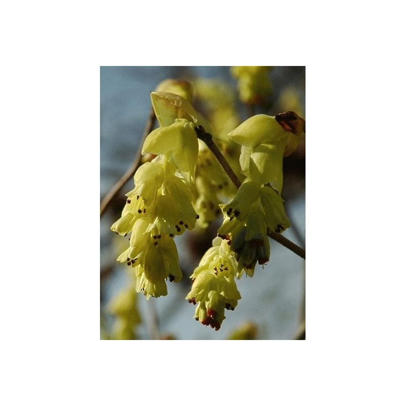 Corylopsis spicata - close up of flowers