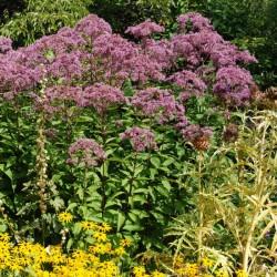 Eupatorium purpureum - established specimen flowering in late summer