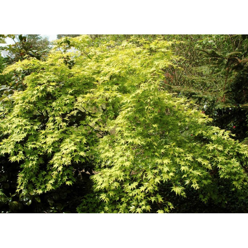 Acer palmatum 'Aureum' - soft golden leaves in early summer