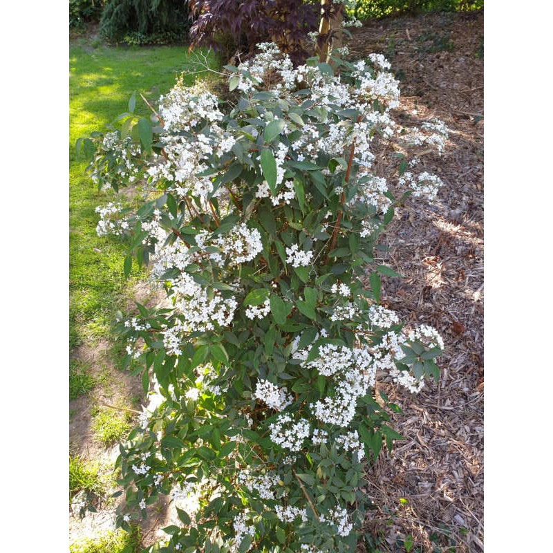 Deutzia setchuenensis var corymbiflora - established plant