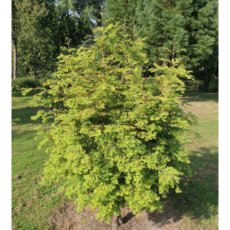 Metasequoia glyptostroboides 'Chubby' - established plant in summer
