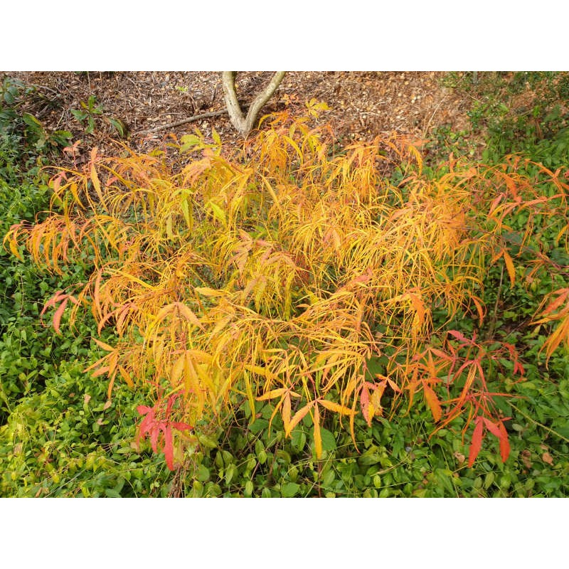 Acer palmatum 'Koto No Ito' - autumn colour in mid October