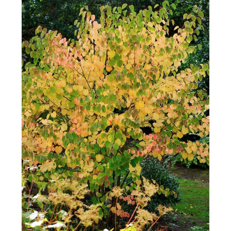 Cercidiphyllum japonicum 'Heronswood Globe' - autumn colour starting on an established plant