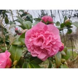 Camellia x williamsii 'Debbie' - spring flowers