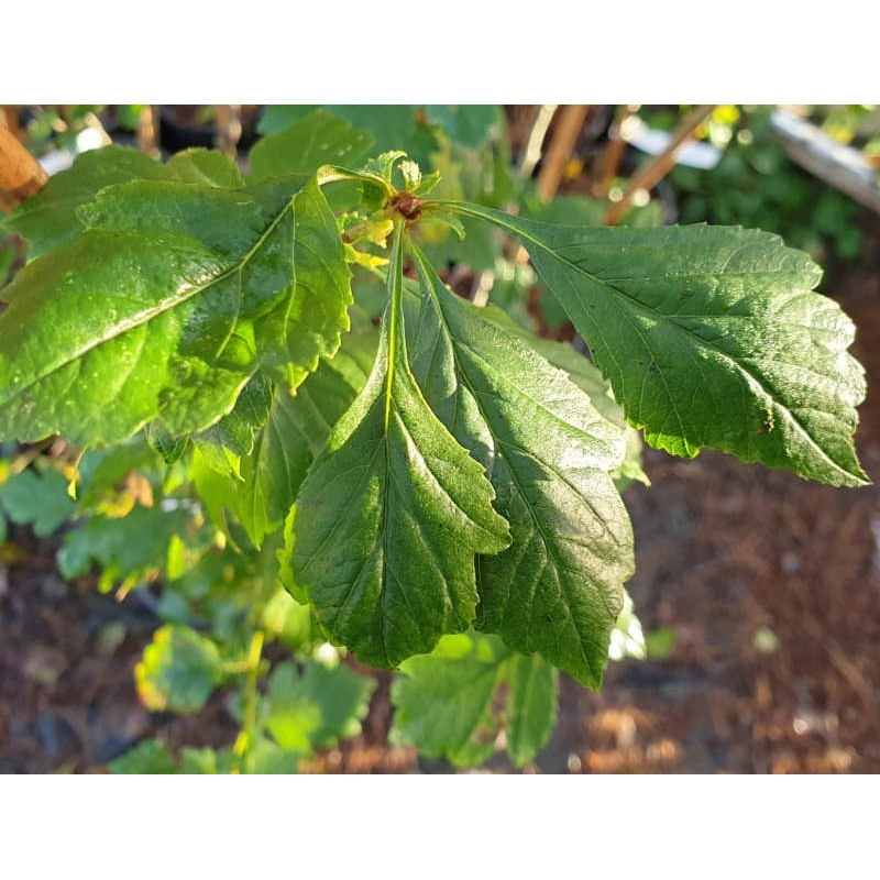 Crataegus 'Autumn Glory' - late summer leaves