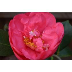Camellia japonica 'Drama Girl' - spring flowers