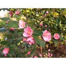 Camellia 'Cornish Spring'  - spring flowers