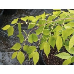 Zelkova serrata 'Luminifera' - soft golden leaves in spring/early summer