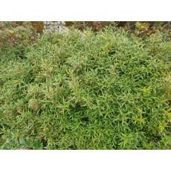 Sarcococca hookeriana var digyna - established plant
