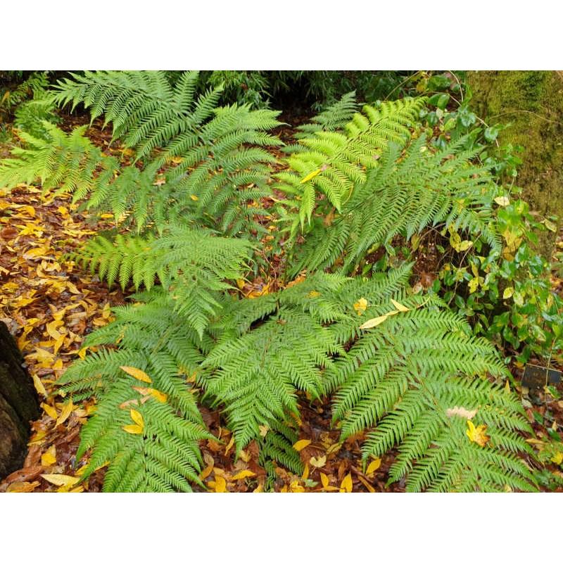 Woodwardia fimbriata - leaves in autumn