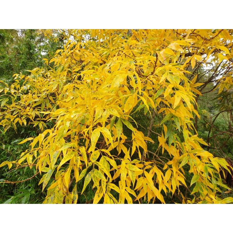 Carya cordiformis - autumn colour