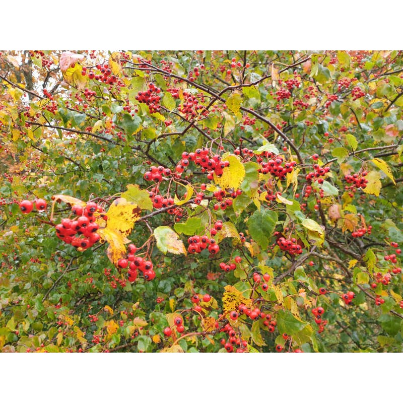 Crataegus phaenopyrum - berries in October