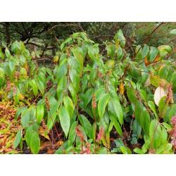 Rubus calophyllus - established plant