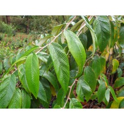 Rubus calophyllus - leaves in autumn