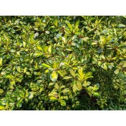 Ilex x altaclerensis 'Lawsoniana' - variegated leaves