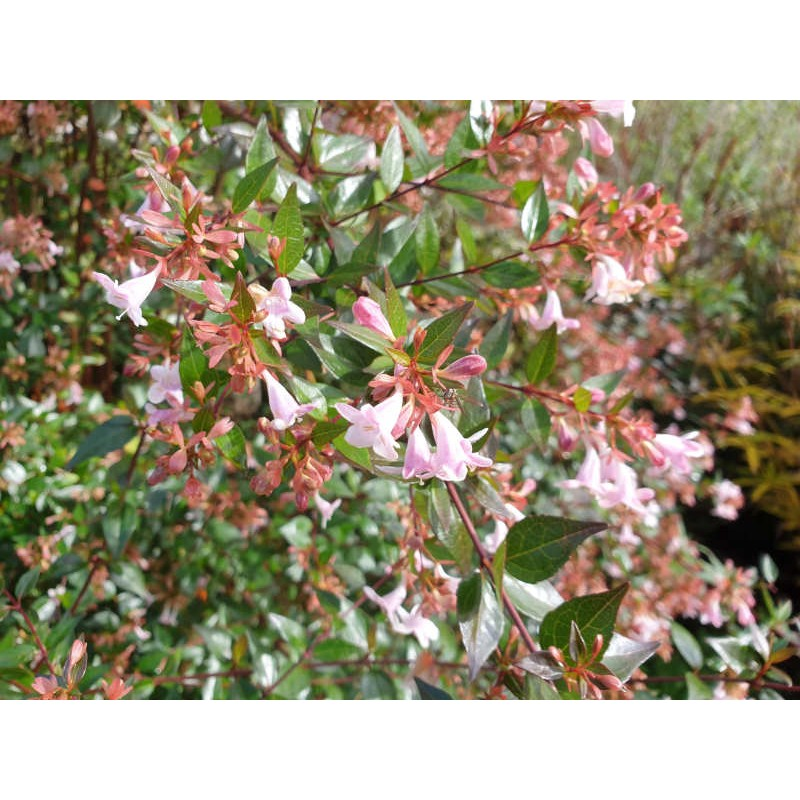 Abelia x grandiflora - flowers