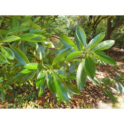 Quercus glauca - leaves in late summer