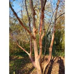 Betula albosinensis 'Bowling Green' - bark in  November
