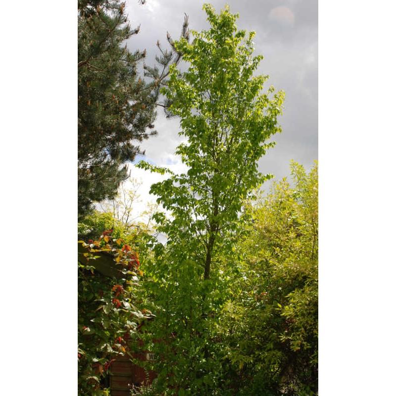 Carpinus betulus 'Frans Fontaine' - specimen tree in Spring