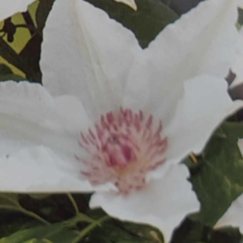 Clematis 'Fuyu-no-tabi' - summer flowers