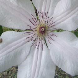 Clematis 'Jan Pawel II' - summer flower