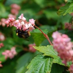 Neillia thibetica - with bee