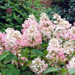 Hydrangea paniculata 'Burgundy Lace' - late summer flowers
