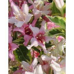 Weigela florida 'Variegata' - pink flowers and variegated leaves