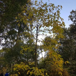 Hovenia dulcis - specimen tree in autumn