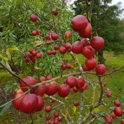 Malus 'Rosehip' - masses of dark red autumn fruit