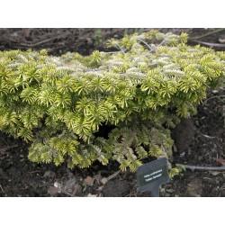 Abies nordmanniana 'Golden Spreader' - slow growing conifer