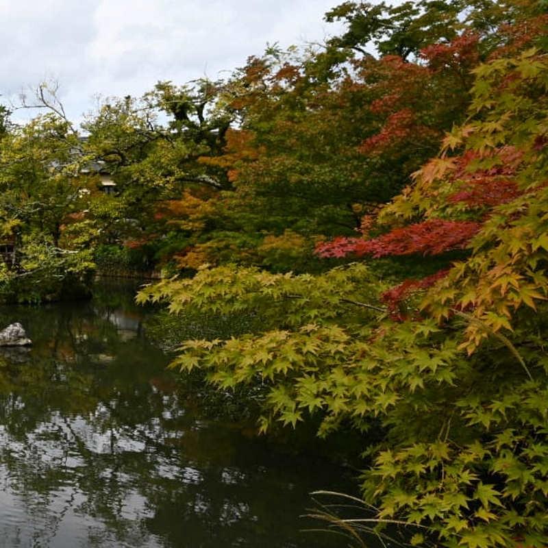 Acer palmatum (Japanese Maple) - early autumn