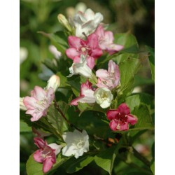 Weigela coraeensis - summer flowers