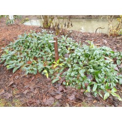 Prunus laurocerasus 'Mount Vernon'  - established plant used as ground cover