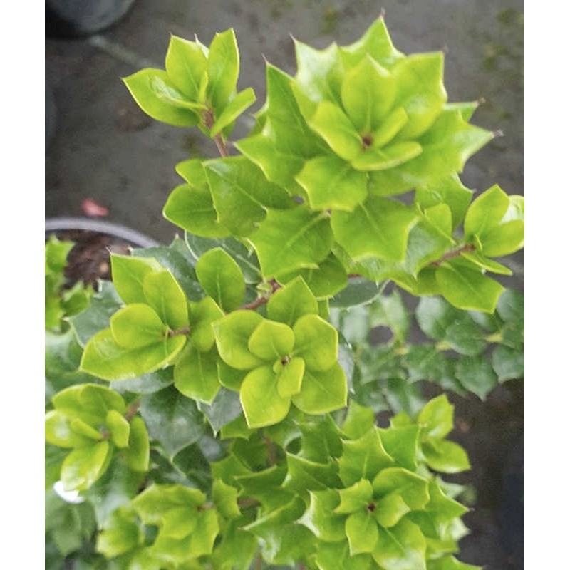 Ilex dimorphophylla - dainty leaves in winter