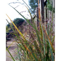Panicum virgatum 'Warrior' - flowering in late summer/early autumn