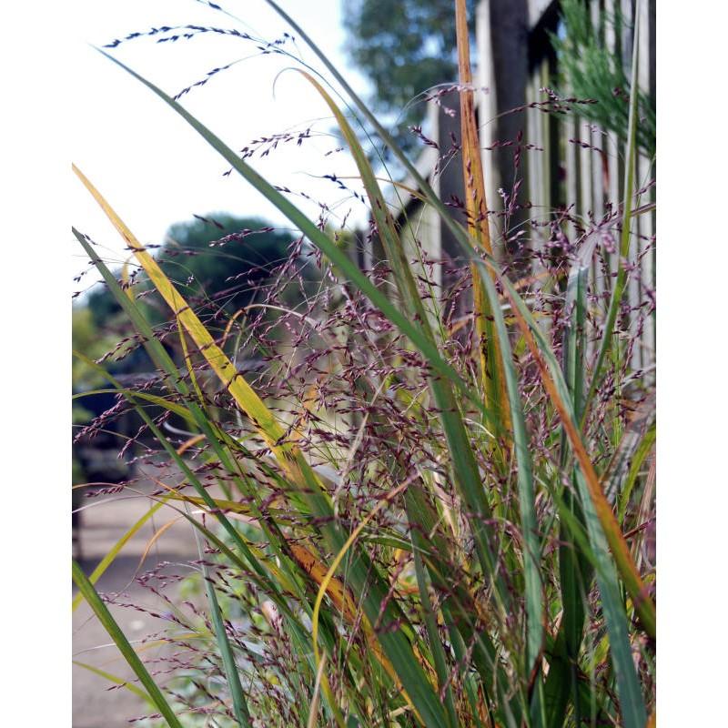 Panicum virgatum 'Warrior' - flowering in late summer/early autumn